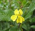 草海桐屬 Goodenia ovata -澳洲塔斯曼尼亞 Tasman Peninsula, Tasmania- (10867934344).jpg