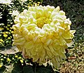 菊花-久米之幸福 Chrysanthemum morifolium 'Well-Being' -中山小欖菊花會 Xiaolan Chrysanthemum Show, China- (11962005966).jpg