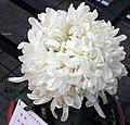 菊花-南天祥雲 Chrysanthemum morifolium 'South Sky Auspicious Cloud' -中山小欖菊花會 Xiaolan Chrysanthemum Show, China- (11961166095).jpg