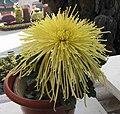 菊花-金松管 Chrysanthemum morifolium 'Golden Pine Tubes' -香港圓玄學院 Hong Kong Yuen Yuen Institute- (12084955615).jpg