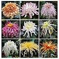 菊花 Chrysanthemum morifolium cultivars 7 -上海共青森林公園 Shanghai, China- (11961173565).jpg