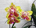 蝴蝶蘭 Phalaenopsis Orchid World -香港青松觀蘭花展 Tuen Mun, Hong Kong- (9252383175).jpg