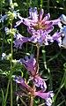 釣鐘柳屬 Penstemon peckii -維也納大學植物園 Vienna University Botanical Garden- (27899695433).jpg