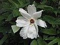 鳳丹 Paeonia ostii -比利時 Ghent University Botanical Garden, Belgium- (9237498991).jpg