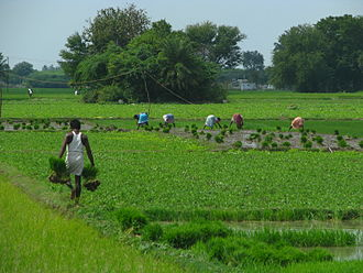Agriculture in India - Men and women at work in rice paddy fields in Tamil Nadu