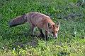 02018 0355 Vulpes vulpes in Sanok.jpg
