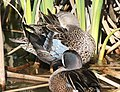 032 - BLUE-WINGED TEAL (3-26-13) mustang island, nueces co, tx (7) (8712312682).jpg