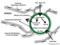 05 02 interacciones alga verde (verde), hifa de hongo, liquenes, Lichenes (M. Piepenbring).png