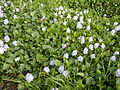 06339jfBarangay Eichhornia Flowers Pansinao Candaba Mount Arayat Pampanga Riverfvf 16.JPG