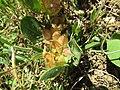 07-05-2017 Bladder Vetch (Tripodion tetraphyllum), Branqueira.JPG