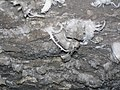 148 Gypsum helictites in Turner Avenue 19 (8321114555).jpg