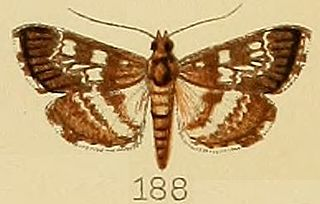 <i>Epipagis</i> genus of insects