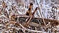 1 Migratory locust Locusta migratoria.jpg