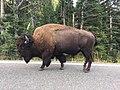 1 Yellowstone Bison.jpg