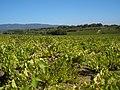 2005-09-17 Provence Luberon vineyard.jpg