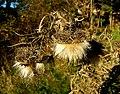 2006-10-30-Cirsium02.jpg