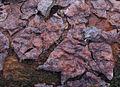 2007-01-27 Peniophora pini.jpg