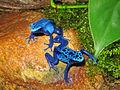2009-03-29Dendrobates tinctorius azureus104.jpg