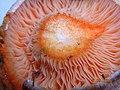 2010-09-18 Lactarius salmonicolor R. Heim & Leclair 107918.jpg