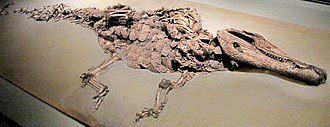 Diplocynodon - D. darwini from Messel pit, Hesse, Germany, 48 million years old