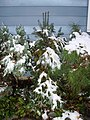 2011-10-30 08 00 00 03 A Balsam Fir sapling at a house along Terrace Boulevard after 3.2 inches of snow fell the previous day during the 2011 Halloween nor'easter in Ewing Township, Mercer County, New Jersey.jpg
