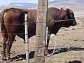 2012, Bull. Shorthorn - panoramio.jpg