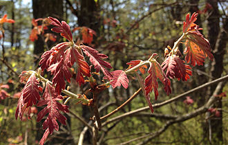 Quercus alba - New foliage of Quercus alba