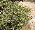 2013-06-27 14 56 57 Single-leaf Pinyon pollen cones on Spruce Mountain, Nevada.jpg