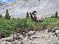 20130630 27 Big Horn Sheep on Wilcox Pass Trail (11659109974).jpg