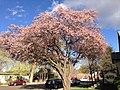 2014-04-28 18 02 46 Flowering plum in Elko, Nevada.JPG