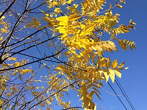Juglans nigra - Autumn foliage