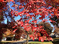 2014-10-30 11 10 13 Red Maple foliage during autumn on Lower Ferry Road in Ewing, New Jersey.JPG