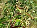 20150608Parthenocissus quinquefolia.jpg