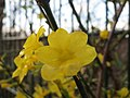 20151128Jasminum nudiflorum1.jpg