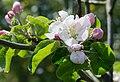 2015 Kwiatostan jabłoni domowej.jpg