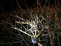 2016-02-16 00 58 58 Freezing rain on Forsythia branches at night along Tranquility Court in the Franklin Farm section of Oak Hill, Fairfax County, Virginia.jpg