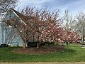 2017-04-10 17 28 48 Kanzan Japanese Cherries starting to bloom along White Barn Lane at White Barn Court in the Franklin Farm section of Oak Hill, Fairfax County, Virginia.jpg