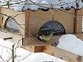 2018-01-21 (101) Parus major (great tit) on a bird table im Haltgraben, Frankenfels.jpg