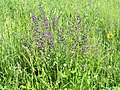 2018-05-13 (105) Meadow with Salvia pratensis (meadow clary) and other flowers at Bichlhäusl in Frankenfels, Austria.jpg