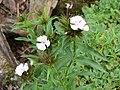 2018-06-01 (105) Dianthus barbatus (sweet William) at Bichlhäusl in Frankenfels, Austria.jpg