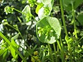 20180419Claytonia perfoliata3.jpg