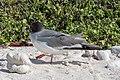 20180807-Swallow-tailed gull-4 at Genovesa (9496).jpg