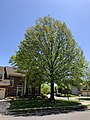 2020-05-04 13 26 38 Pin Oak leafing out in spring along Scotsmore Way in the Chantilly Highlands section of Oak Hill, Fairfax County, Virginia.jpg