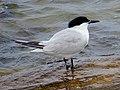 2020-07-18 Thalasseus sandvicensis, St Marys Island, Northumberland 04.jpg