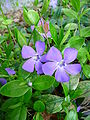2 blaue Blüten Immergrün.JPG