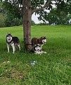 3 Beautiful Huskies by the Congo River enjoying the shade of the Avocado Tree.jpg