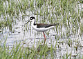4749 black necked stilt munsel odfw (4438180295).jpg