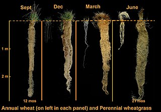 Roots of annual (left) and perennial (right) crops with time (source: Land Institute)