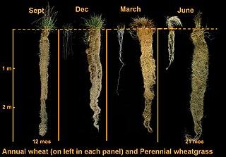 Dĺžka koreňa je oproti iným častiam rastliny veľmi veľká