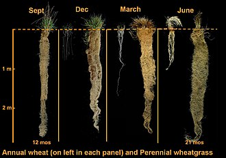 Perennial grain - Roots of intermediate wheatgrass, a perennial grain candidate compared to those of annual wheat (at left in each panel)